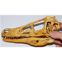 VELOCIRAPTOR Dinosaur Skull Cast (Replica NOT REAL FOSSIL - Reproduction) #27 9o