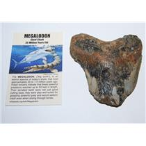 MEGALODON TOOTH SHARD (Partial) Fossil Shark (LG) up to 25 Mil Y.O. #11330 12o