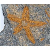 Starfish Fossil Ordovician 450 Million Years Ago Morocco #13432 1#15o