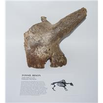 Bison Horn & Partial Skull Fossil Mammal Pleistocene #2192 1#10o