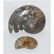 AMMONITE Fossils Lot of 2 (100-120 Mil Yrs old) Morocco & Madagascar #2432
