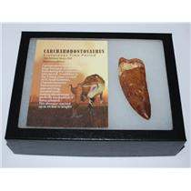 "CARCHARODONTOSAURUS Dinosaur Tooth 3.31"" Fossil African T-Rex XLDB #2847"