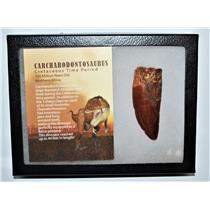 "CARCHARODONTOSAURUS Dinosaur Tooth 3.263"" Fossil African T-Rex LDB #13222 21o"