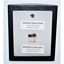 Eohippus (Horse) Tooth & Mesohippus Jaw Real Fossils +Display Box SDB #13258 13o