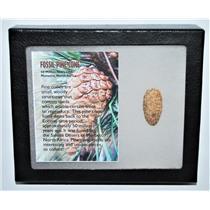 Pine Cone Fossil w/ Display Box LDB 50 Million Yrs Old COA #13282 13o