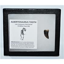 ALBERTOSAURUS Dinosaur Tooth Fossil .974 inch w/ Display Box  MDB #13554