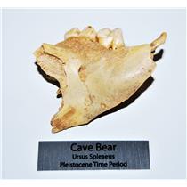 CAVE BEAR Jaw Fossil Extinct Pleistocene - Juvenile - w/ Display Label #13706 4o