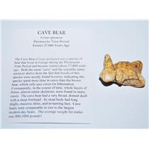 CAVE BEAR Tooth Fossil Pleistocene Extinct Cavebear #13712 4o