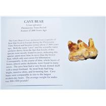 CAVE BEAR Tooth Fossil Pleistocene Extinct Cavebear #13715 4o