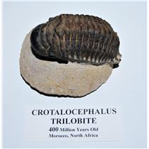 Crotalocephalus TRILOBITE Fossil Morocco 400 Million Years old #13818 19o
