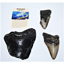 MEGALODON TEETH  Lot of 3 Fossils w/ 3 Info Cards Huge SHARK #14214 12o