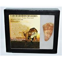 CARCHARODONTOSAURUS Dinosaur Tooth 2.257 Fossil African T-Rex COA LDB #13951 15o