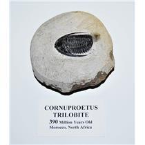 Cornuproetus TRILOBITE Fossil Morocco 390 Mill Years old #14066 14o