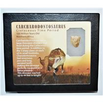 "CARCHARODONTOSAURUS Dinosaur Tooth .753"" Fossil African T-Rex LDB #14098 15o"
