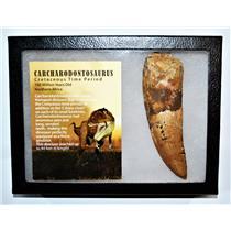 "CARCHARODONTOSAURUS Dinosaur Tooth 5.012"" Fossil African T-Rex XLDB #14158 23o"