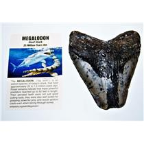 MEGALODON TOOTH Fossil w/ Info Card Huge SHARK 4 in #14210  9o