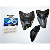 MEGALODON TEETH  Lot of 3 Fossils w/ 3 Info Cards Huge SHARK #14217 14o