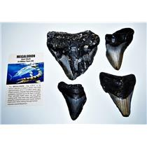 MEGALODON TEETH  Lot of 4 Fossils w/ 4 Info Cards Huge SHARK #14221 19o
