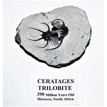 Ceratages TRILOBITE Fossil Morocco 390 Million Years old #14330 7o