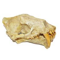 Sabertoothed Cat Skull Cast Hoplophoneus - Replica - NOT REAL FOSSIL #11273 15o