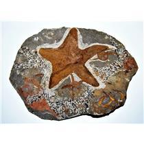 Starfish Fossil Ordovician 450 Million Years Ago Morocco #14431 40o