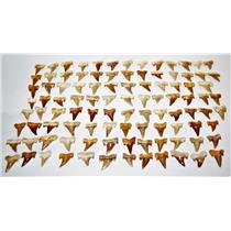 "OTODUS Shark Tooth Real Fossils ¾-1 Inch (S) Lot of 100 Teeth ""B"" Grade 14512"