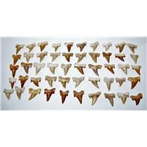 "OTODUS Shark Tooth Real Fossils ¾-1 Inch (S) Lot of 50 Teeth ""B"" Grade 14513"
