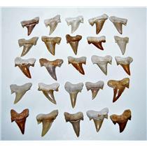 "OTODUS Shark Tooth Real Fossils ¾-1 Inch (S) Lot of 25 Teeth ""B"" Grade 14514"