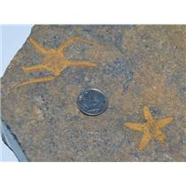Starfish Fossil & Brittle Star Ordovician 450 Mil Years Old Morocco #13433 1#14o