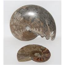 AMMONITE Fossils Lot of 2 (100-120 Mil Yrs old) Morocco & Madagascar #2431