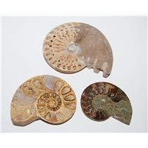 AMMONITE Fossils Lot of 3 (100-120 Mil Yrs old) Morocco & Madagascar #2449