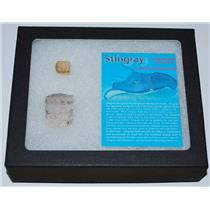 Nice Stingray Mouth Plate Fossil plus Tooth w/ Display Box LDB #12886 14o
