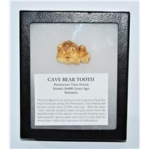 CAVE BEAR Tooth Fossil Extinct Pleistocene - w/ Display Box LDB #13708 12o