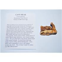 CAVE BEAR Tooth Fossil Pleistocene Extinct Cavebear #13710 4o