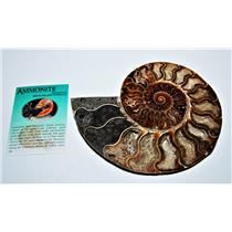 AMMONITE Fossil Polished 6 inches Madagascar #13790 25o