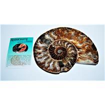 AMMONITE Fossil Polished 6 inches Madagascar #13793 24o