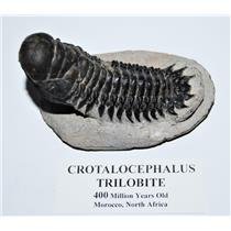 Crotalocephalus TRILOBITE Fossil Morocco 400 Million Years old #13815 16o