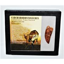 CARCHARODONTOSAURUS Dinosaur Tooth 2.045 Fossil African T-Rex COA LDB #13955 15o