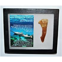 Onchopristis Tooth Fossil 100 Mil Yr Old 2.745 inch w/ Display Box LDB 14008 8o