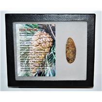 Pine Cone Fossil w/ Display Box LDB 50 Million Yrs Old COA #14040 13o