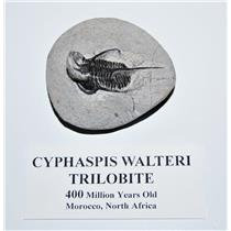 Cyphaspis Walteri TRILOBITE Fossil Morocco 400 Mil Years Old #14071 6o