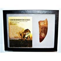 "CARCHARODONTOSAURUS Dinosaur Tooth 3.551"" Fossil African T-Rex XLDB #14164 22o"