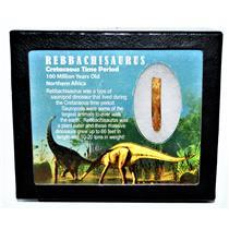 Rebbachisaurus Sauropod Dinosaur Tooth Fossil 1.692 w/ Display Box MDB 14187 13o