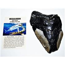 MEGALODON TOOTH Fossil w/ Info Card Huge SHARK 5  in #14213  15o