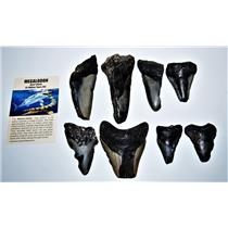 MEGALODON TEETH  Lot of 8 Fossils w/ 8 Info Cards Huge SHARK #14223 16o