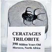 Ceratages TRILOBITE Fossil Morocco 390 Million Years old #14331 13o