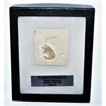 Carpopenaeus Genuine Fossil Shrimp Prawn 95 MYO w/ Display Label & Box LDB 14381