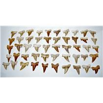 "OTODUS Shark Tooth Real Fossils ¾-1 Inch (S) Lot of 50 Teeth ""B"" Grade 14513"