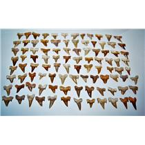 "OTODUS Shark Tooth Real Fossils ¾-1 Inch (S) Lot of 100 Teeth ""C"" Grade 14517"