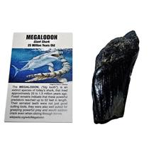 MEGALODON TOOTH SHARD (Partial) Fossil Shark (Med) up to 25 Mil Y.O. #11329 9o